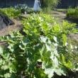 農園の畑で野菜の霜対策を…(11月16日)