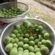 梅作業の季節