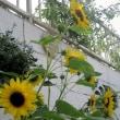 oneboke みちこ今日の庭 ひまわりとローズマリーそして 漆塗りでネックレス
