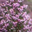 「おはようの花」 ジャノメエリカ 2月