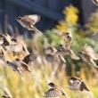 散歩道の野鳥 雀・ハクセキレイ