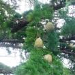 高い枝に、いっぱい!  ~中央公園