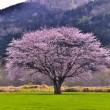 名木・・一本桜
