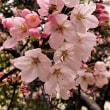 2018年3月19日京橋公園の桜