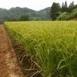 山間の田圃も、穂が出揃いました。・・・でも、金沢はここ1か月雨が1滴も降らない・・・根元の土は白くなってひび割れてきて、稲の下葉も枯れ始めてきました。早く雨ほしい!