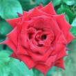 バラ 「熱情」