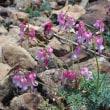 白馬五竜に咲く高山植物~可愛い花々^0^