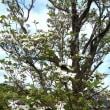 花水木が美しいのに、残念ながら政局は汚れ切っている。また、官僚の辞任が発表された。