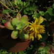 セダムの花
