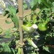 家庭菜園記17-6-1