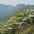 2018丹沢・塔ノ岳のシロヤシオは大当たり
