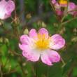 やっと咲いた、庭のツクシイバラ