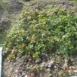 庭にイチゴを追加で植えました
