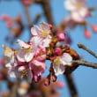 大井町の里山 河津桜