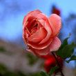 花久の里のバラ(12月)