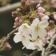 『サクラ開花』・東京と福岡 2019年03月21日