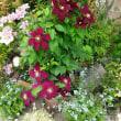 1番花との違いナイオビ(ニオベ)&本気の土寄せ