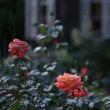 薔薇・ライトアップ