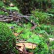 深山に咲く双葉のランを求めて 黒戸尾根  平成29年8月13日