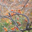 ヤマハゼの実を食べるコゲラと渋柿を見つめるヒヨドリ