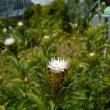 ホソバオケラ - 東京都薬用植物園