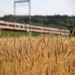 刈入れ前の麦畑