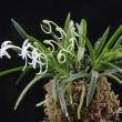 富貴蘭「針熨斗」の花