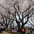 横須賀の春はやはりこれでしょ!