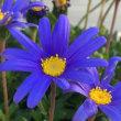 フェルメールの花
