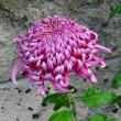 <鈴木園の菊を見て、西白井・白鳥の池へ>