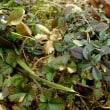 在来種ミミナグサのロゼット葉