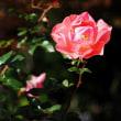 ぼちぼち咲いています・・バラ