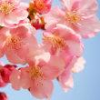 河津桜も咲き出した・・・鹿児島の風景