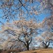 満開! 沼田公園のソメイヨシノ