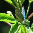 青緑色に輝く蝶