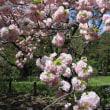 第914回 ソメイヨシノだけが桜じゃない♪