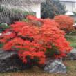 わが家の紅葉