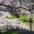 桜・・・満開の時期も過ぎ。