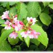 秋にも似合う花(^^♪田植えの時期に花が咲く「タニウツギ(谷空木)」が…