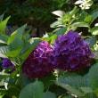 金剛輪寺の紫陽花
