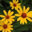 ミニヒマワリのような花を見つけた