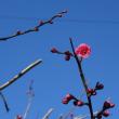 2018年我が家の梅の開花宣言