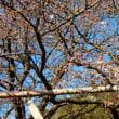 『桜便り』 金龍寺