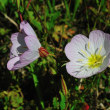 家の前の土手にはヒルサキツキミソウが咲き出しましたよ。(Photo No.14296)