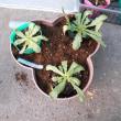 花の定植2種 ガイラルディア・ノースポール