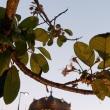 ヒマラヤ桜1.16