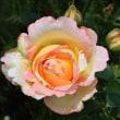 今年もバラが咲きました!(2)