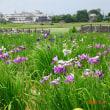 「べに花」を観に行く(桶川市)