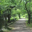 桜道とミンミンゼミ