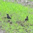 ここには、若鳥のような2羽がいたよ、ツバメチドリ。